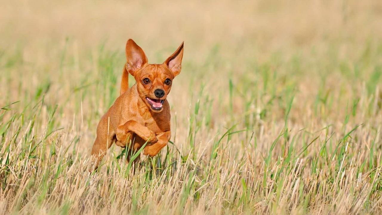 Рыжий пёс бежит по полю