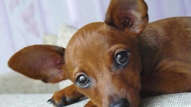 Рыжий щенок цвергпинчера положил голову на лапки