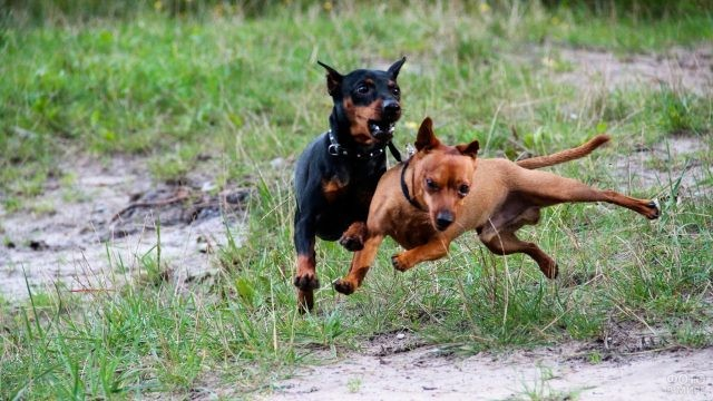 Соревнующиеся собаки на природе