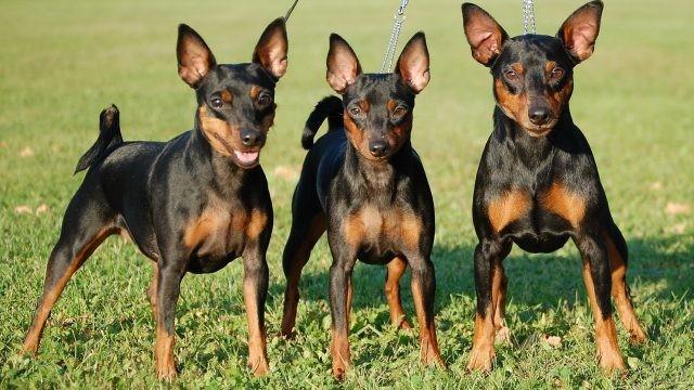 Три породистых собаки на натянутых поводках
