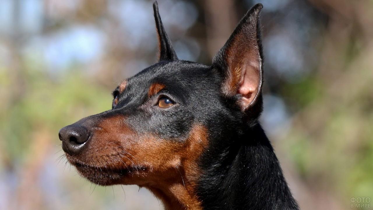 Уставший взгляд собаки с торчащими ушками