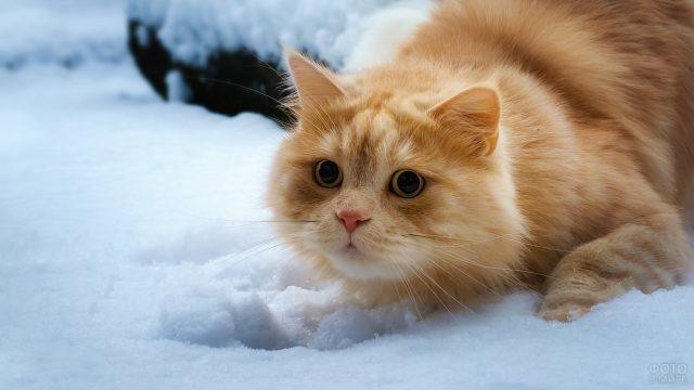 Атакующая кошка в снегу