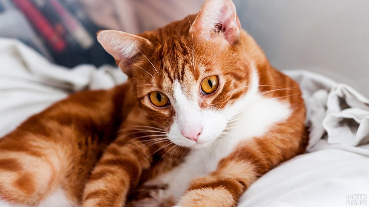 Гладкошёрстная кошка на постели