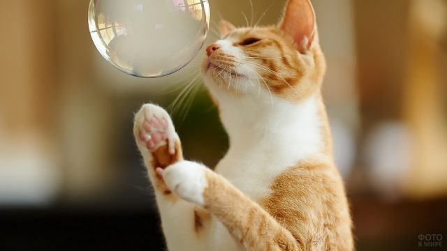 Кот нюхает мыльный пузырь