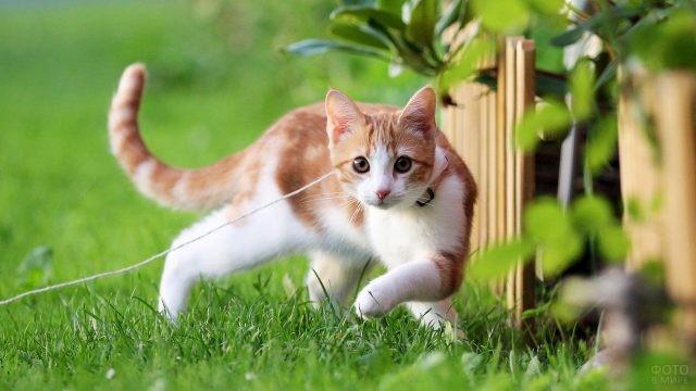 Молодой кот на поводке