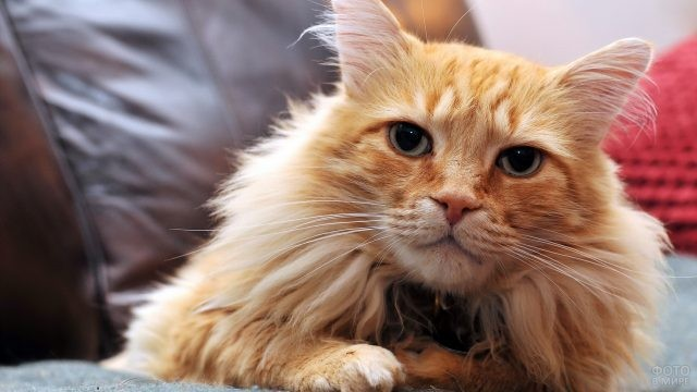 Недовольная кошка возле кожаной подушки