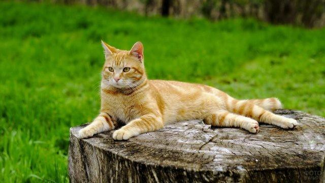 Рыжая кошка на пеньке