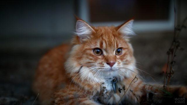 Рыжая кошка возле сухих травинок