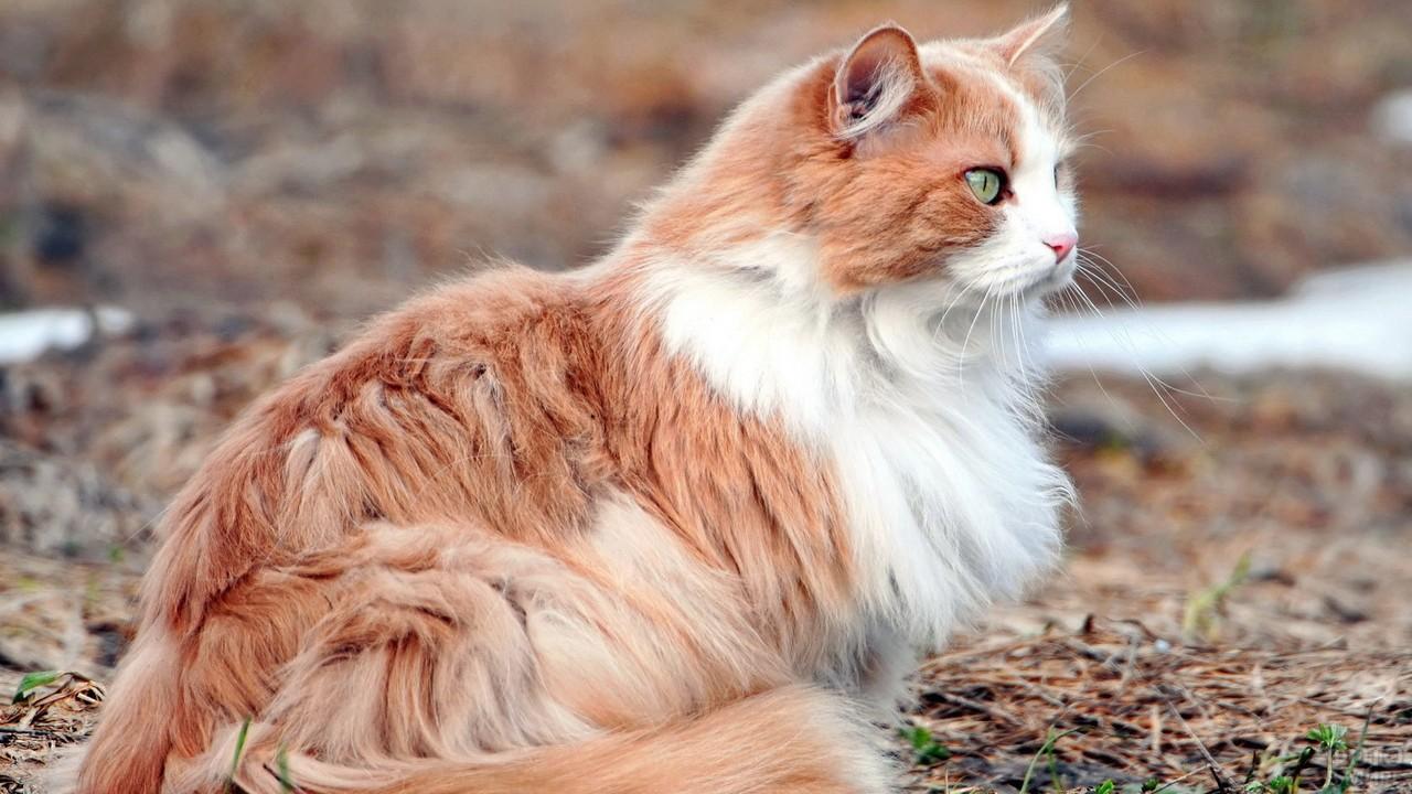 Рыже-белая кошка на земле