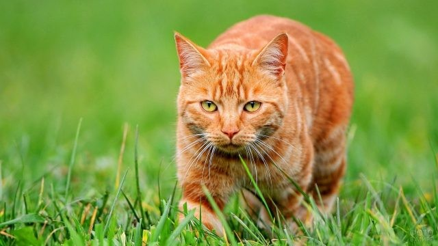 Рыжий кот идёт по траве