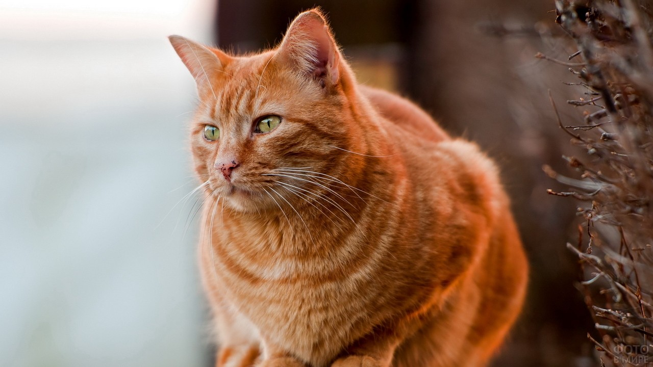 Рыжий кот смотрит в сторону