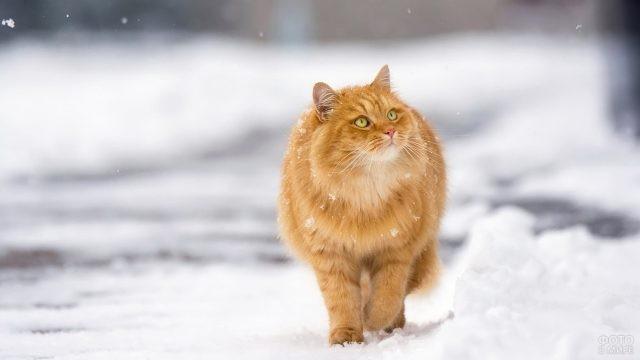 Свободный кот идёт по снегу