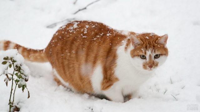Толстая кошка на снегу