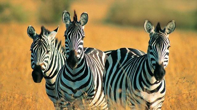 Банда зебр в степи