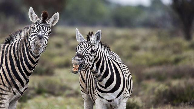 Две зебры, одна из которых показывает зубы