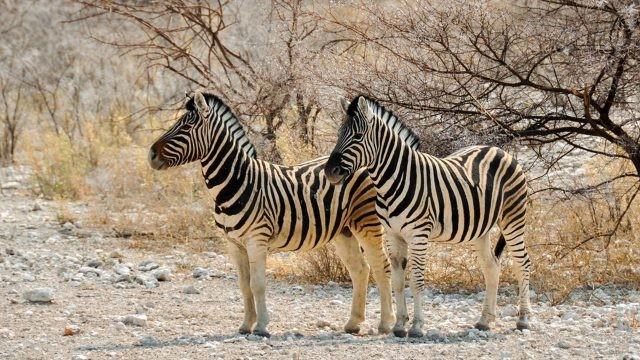 Две зебры стоят в кустарнике