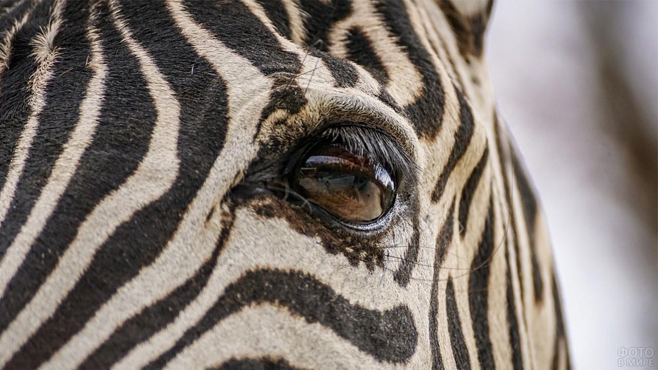 Красивый глаз зебры