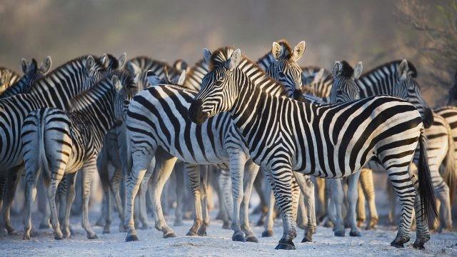 Много зебр и их ног