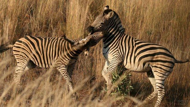 Молодые зебры играют