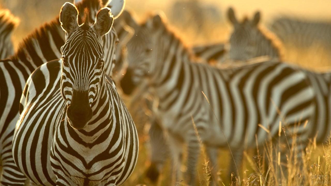 Несколько зебр на закате