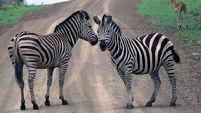 Пара зебр идёт по дороге