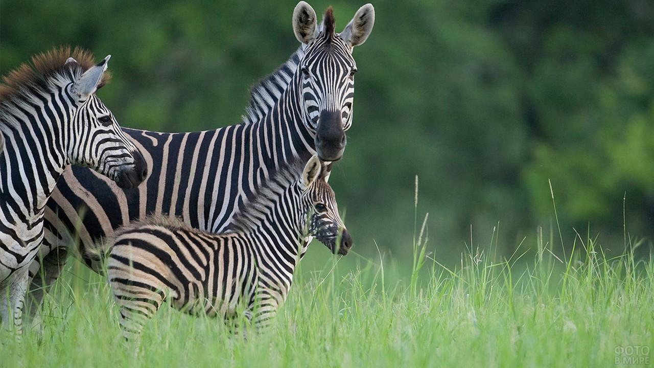 Семья зебр в высокой зелённой траве