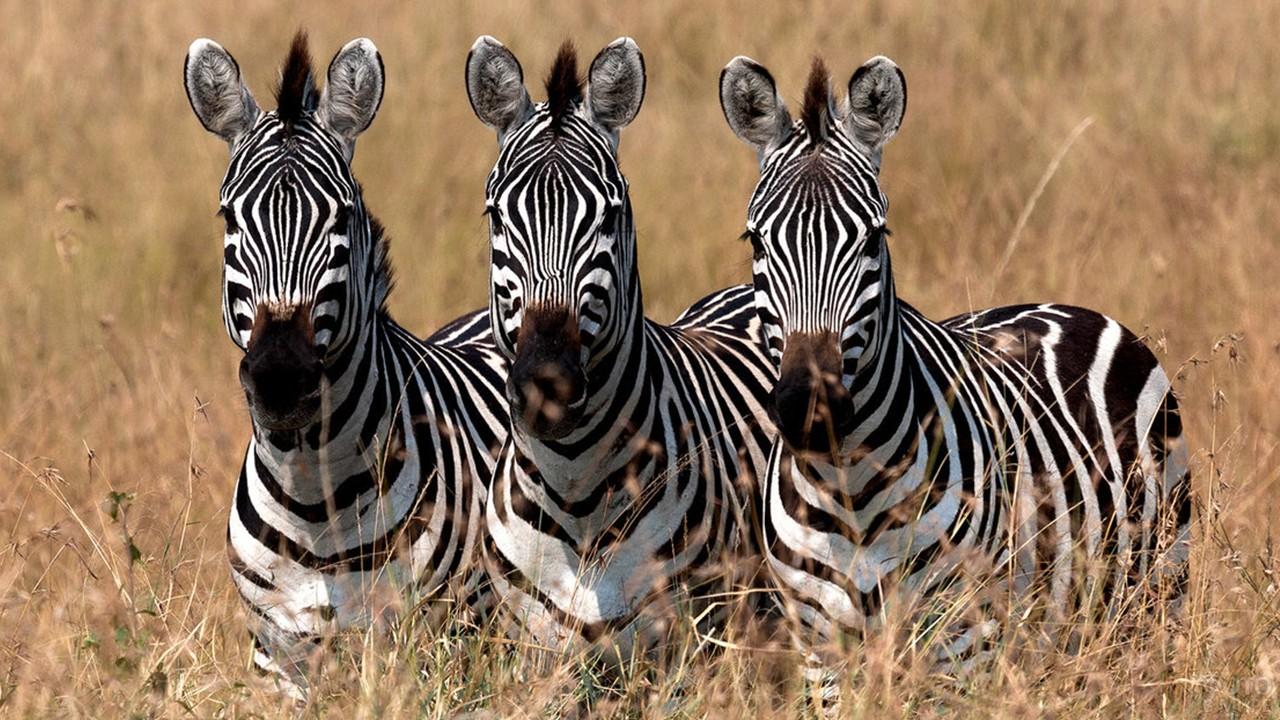 Три зебры стоят в ряд