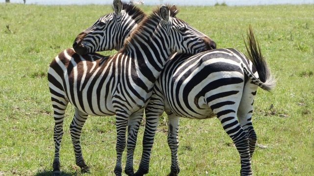 Влюблённые зебры