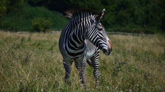 Задумчивая зебра в высокой траве