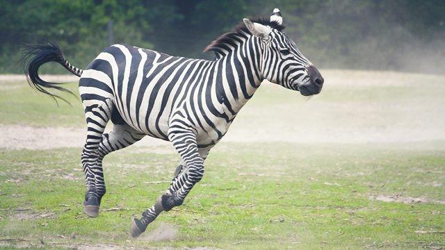 Зебра бежит на всех парах