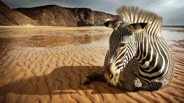 Зебра лежит на побережье океана