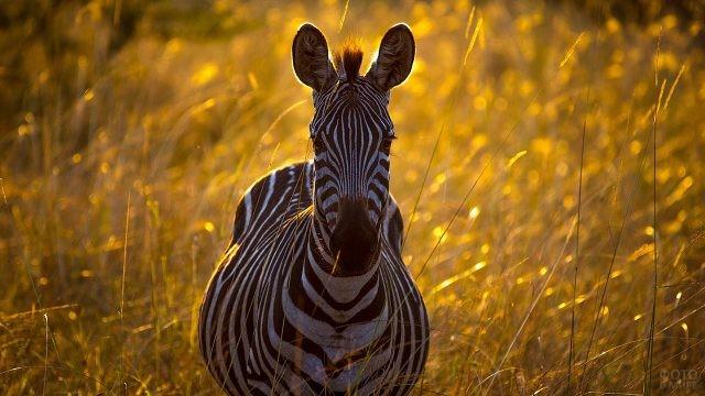Зебра на закате в высокой траве