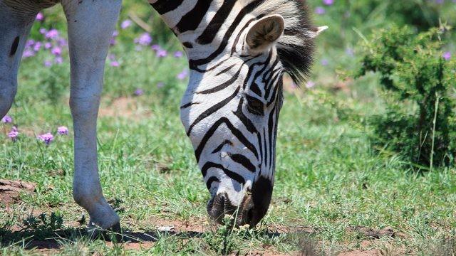 Зебра щиплет травку