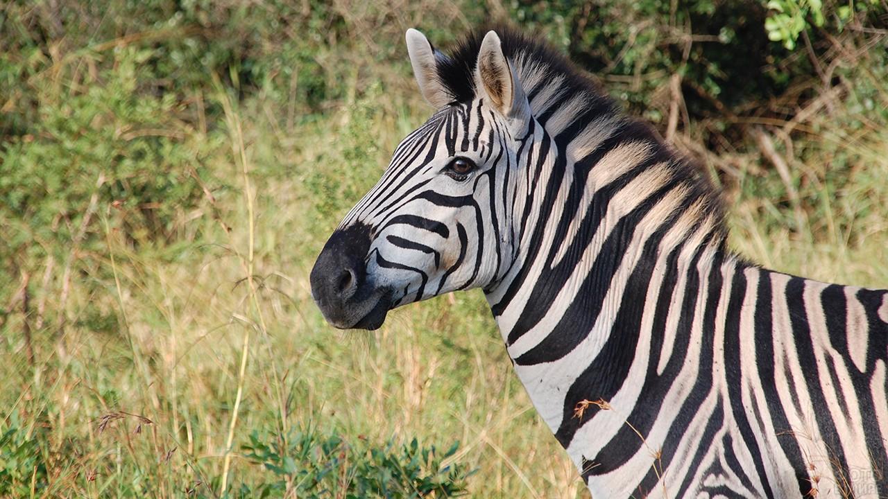 Зебра смотрит влево