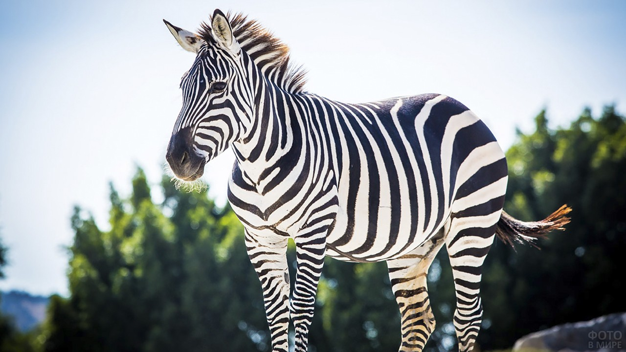 Зебра стоит на фоне голубого неба