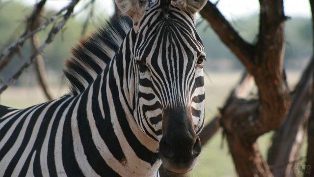 Зебра в лесу
