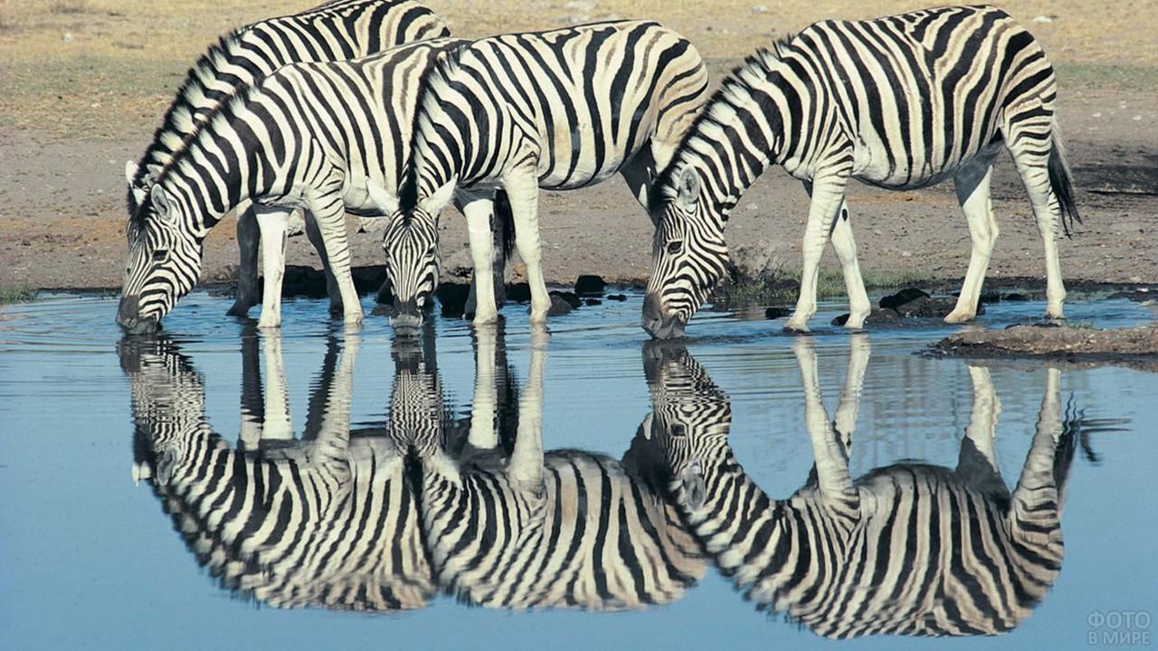 Зебры на водопое с красивым отражением