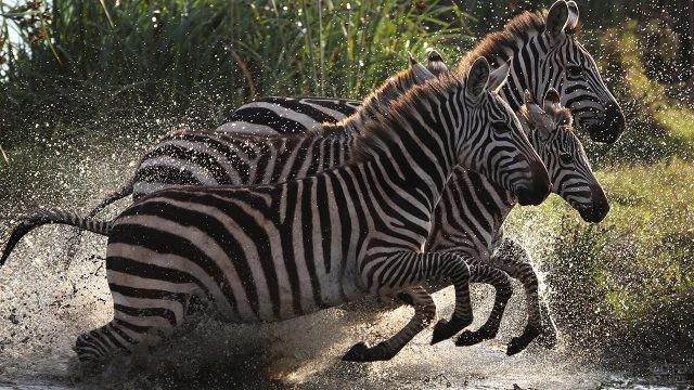 Зебры выпрыгивают из воды