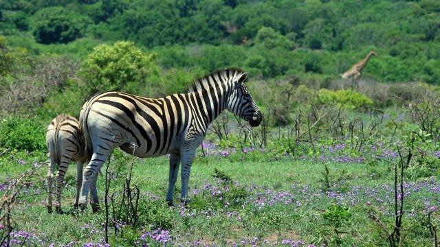 Жеребёнок спрятался за мамой зеброй