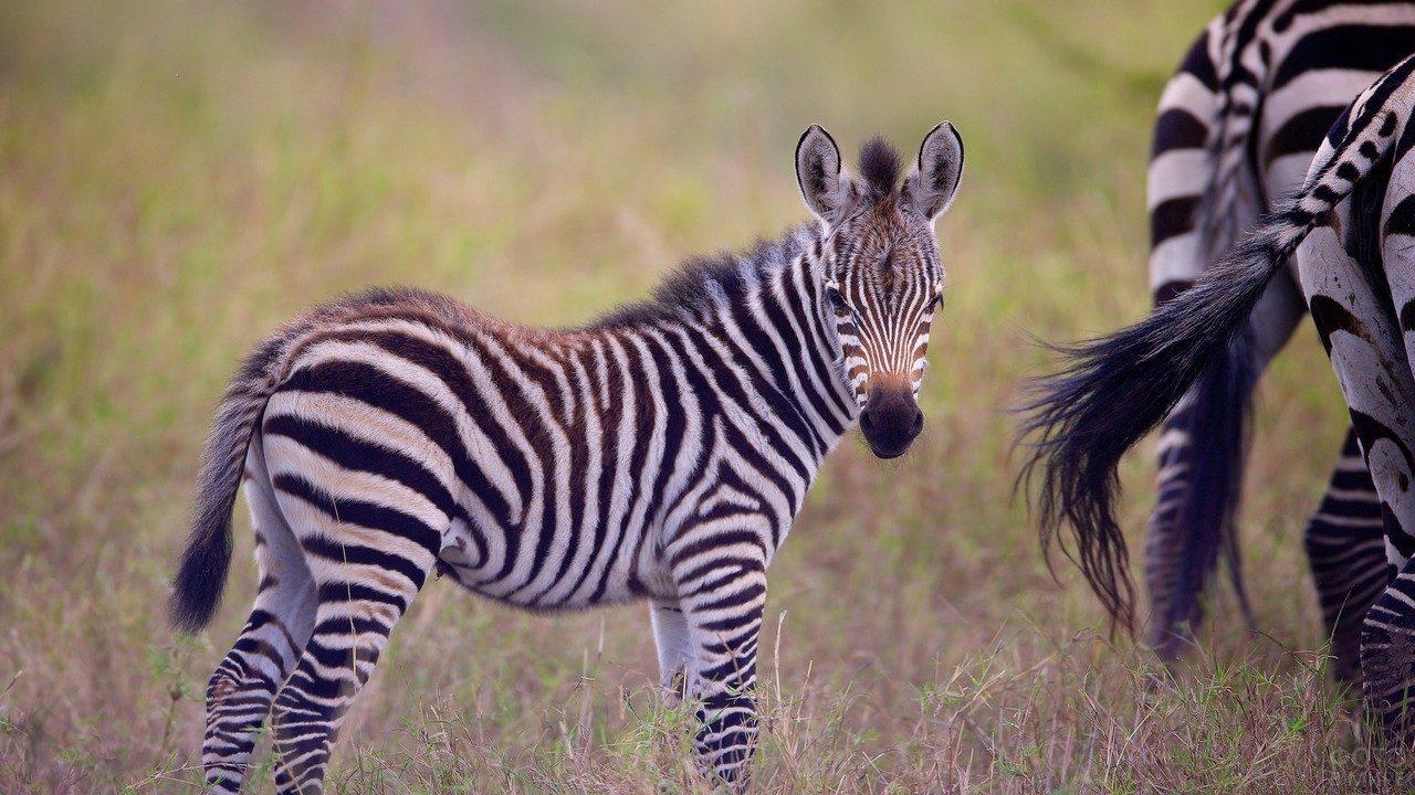Жеребёнок зебры идет за мамой