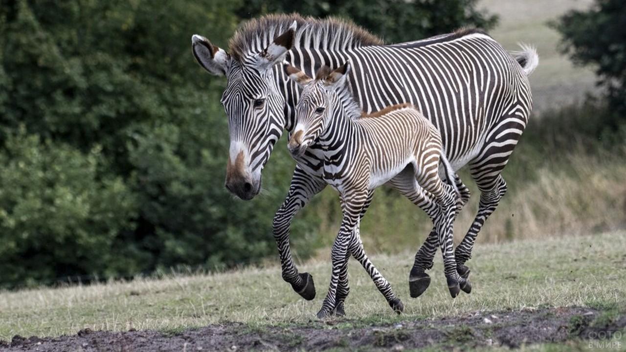 Жеребёнок зебры с мамой бегут по полю