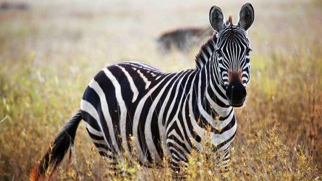Животное среди высокой травы
