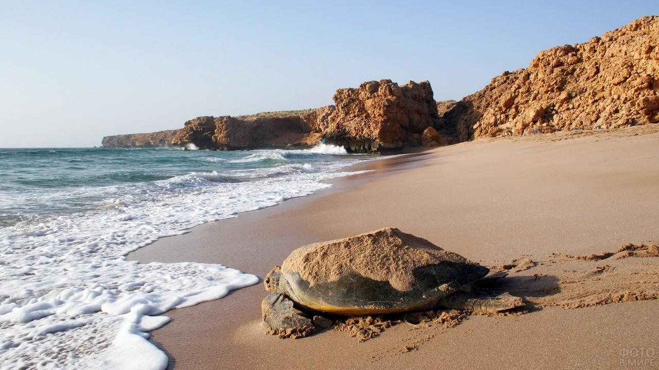 Черепаха ползёт по берегу Рас аль Джинс