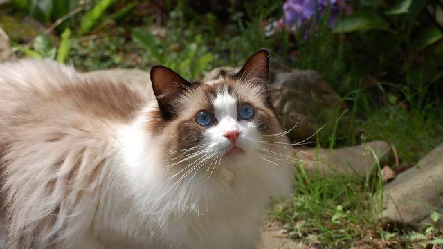 Балинезийская кошка смотрит вверх