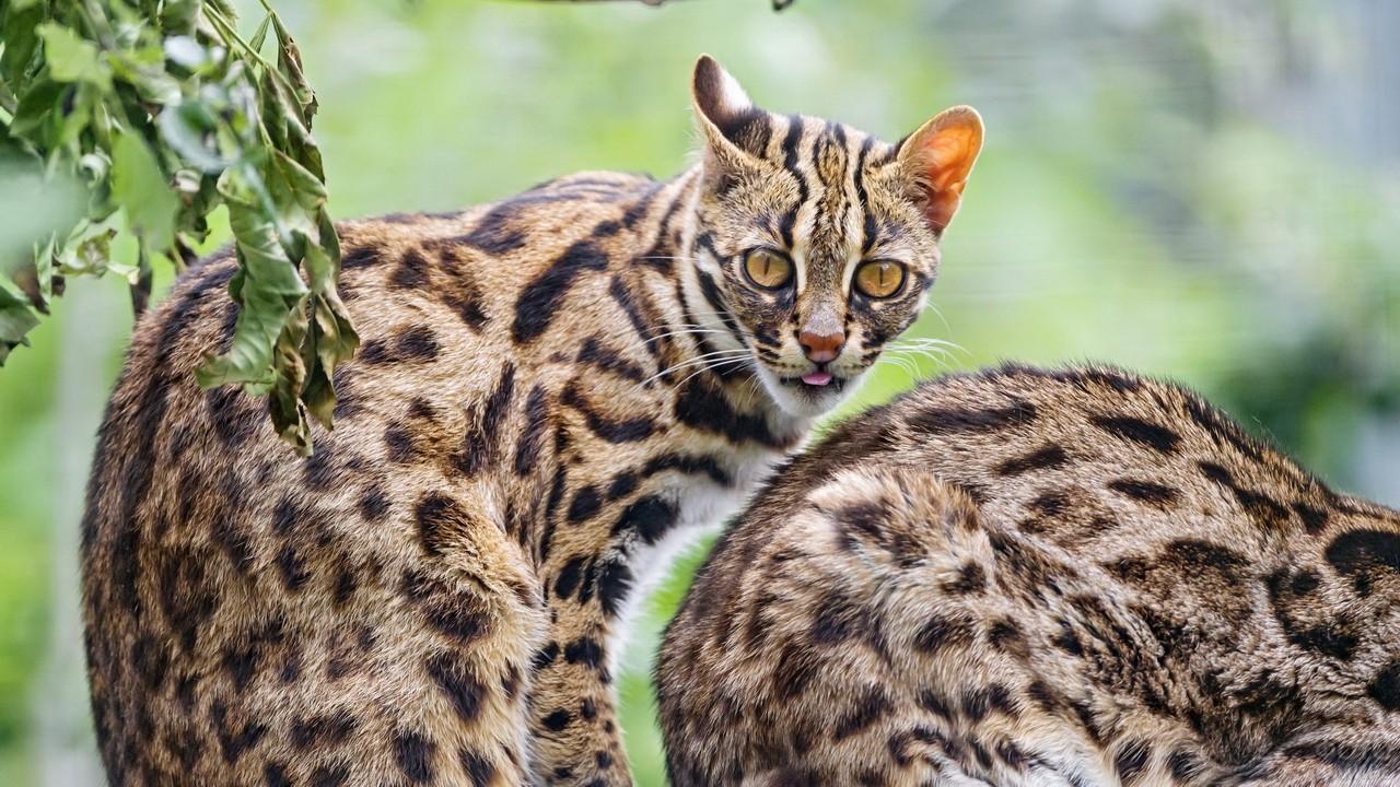 Бенгальская кошка в дикой природе