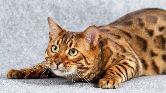 Бенгальская кошка в настороженной позе