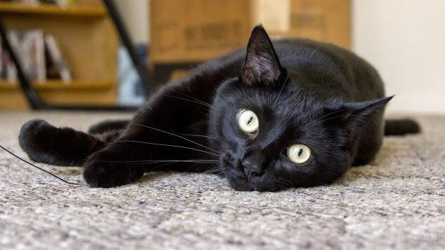 Бомбейская кошка в комнате