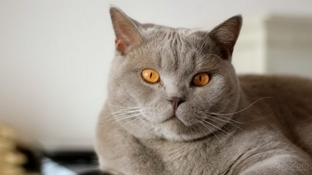 Британский кот серого цвета