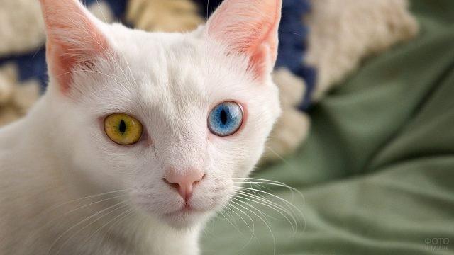 Гетерохромная кошка турецкой ангоры