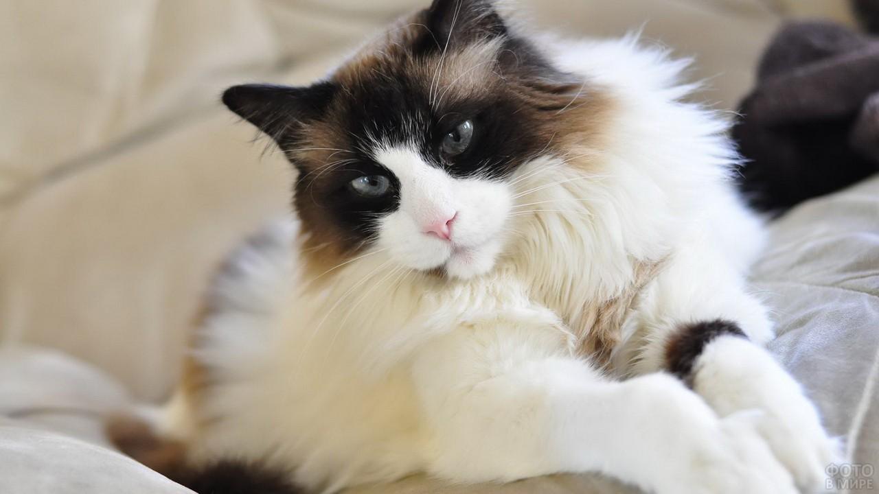 Кошка рэдголл на диване